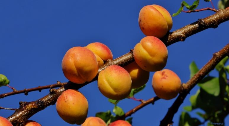 DSC08722(abricots)