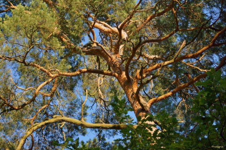 DSC08729(arbre Hasslach)